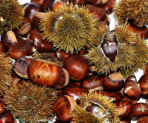chestnuts sweet chestnuts prickly