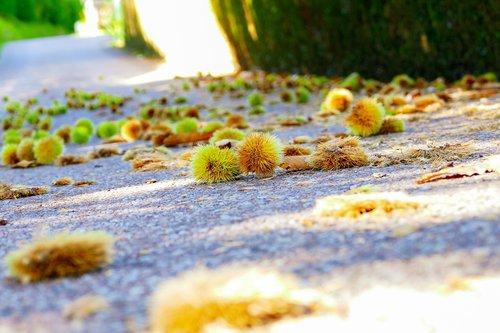 chestnuts  soil  autumn