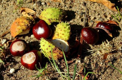 chestnuts  fall  horse chestnut
