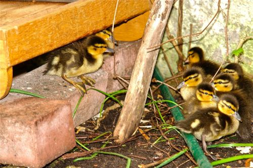 chick duck sweet cute waterfowl fluff