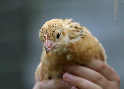 chick chicken hands