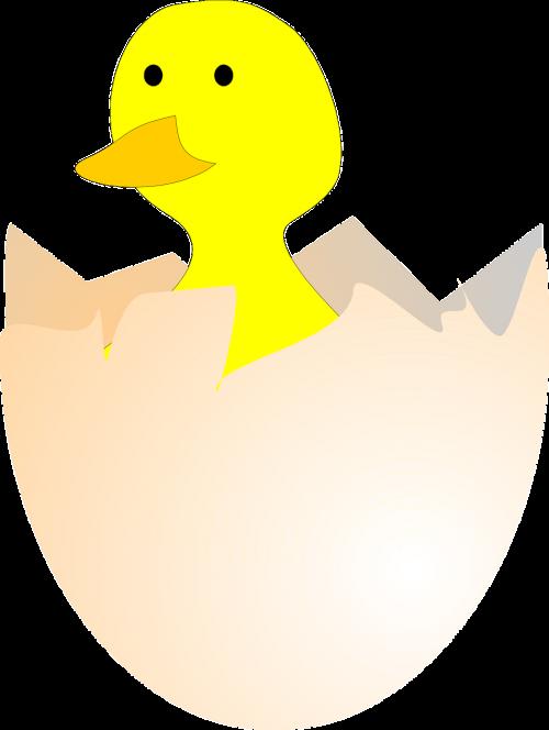 viščiukas,perinti,kiaušinis,kiaušinių lukštai,sunaikintas,atviras,Gimdymas,gyvūnas,gamta,nemokama vektorinė grafika