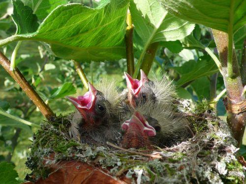 chick spring birds