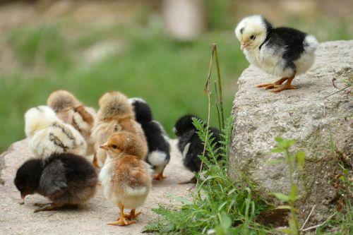 chick chicken them