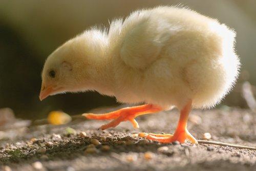 chick  yellow  bird