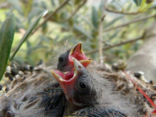 viščiukas,veisimas,lizdas,paukštis,jaunas,paukščiai,inkubuoti