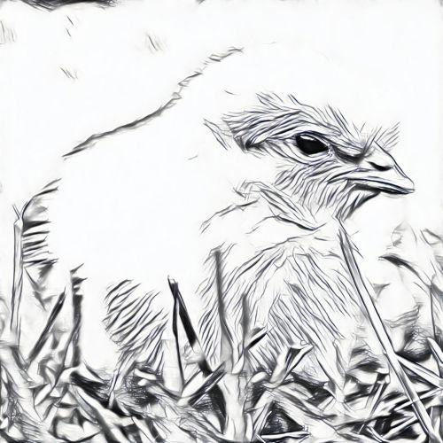 Chick Sketch