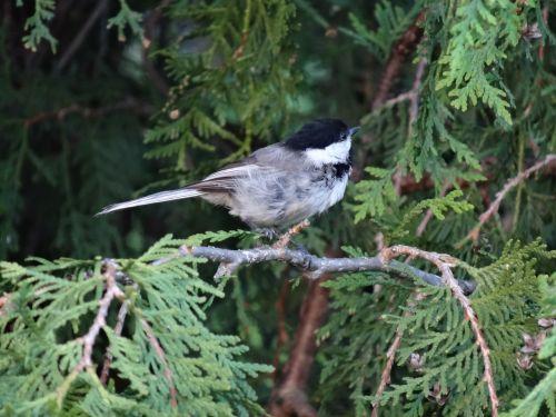 chickadee bird nature