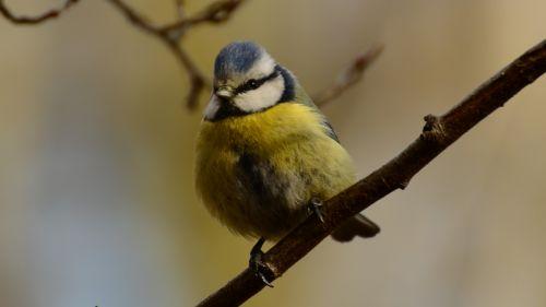 chickadee tit bird