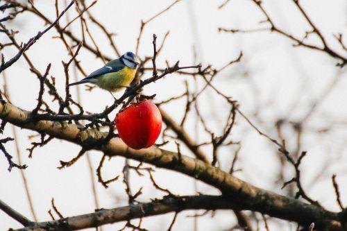 chickadee winter apple