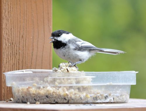 chickadee bird nature