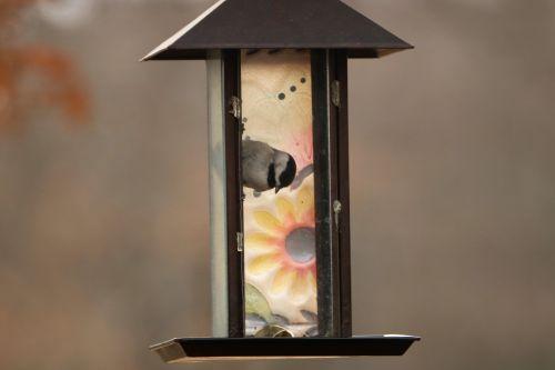 Chickadee Trapped In Bird Feeder