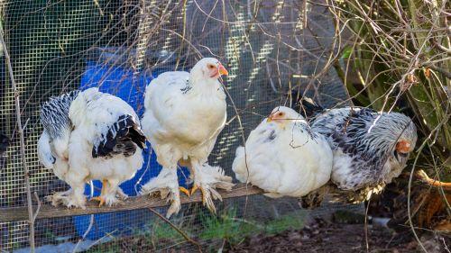 chicken breed chicken bird