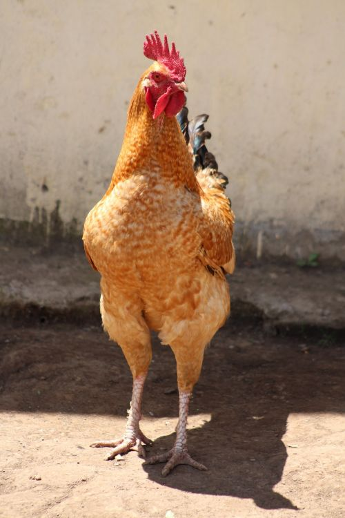 chicken farm domestic animal