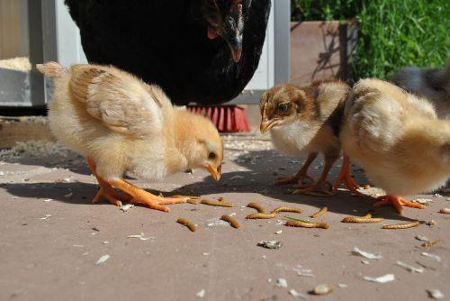 chicken chickens chicks