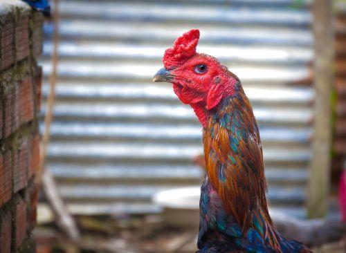 chicken cock animal