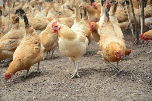 chicken forest stocking