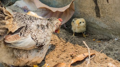 chicken hens chicks