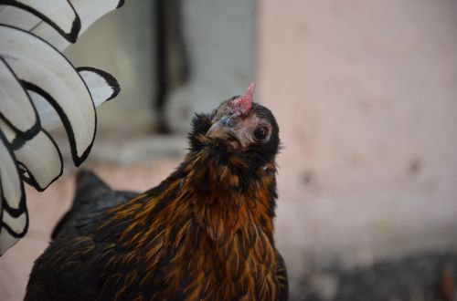 chicken brown poultry