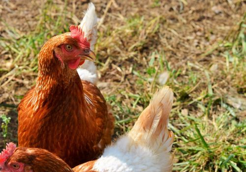 chicken hen poultry