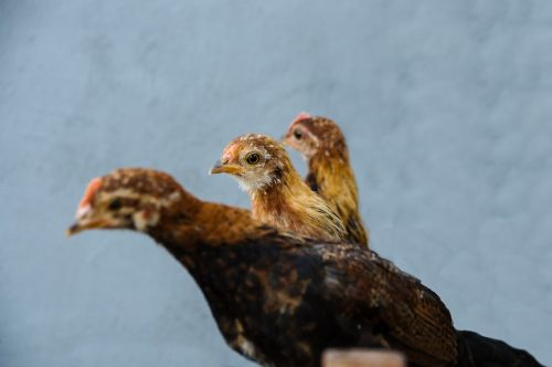 chicken bantam young animal