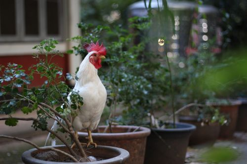 chicken white domestic fowl