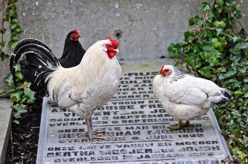 chicken animal bird