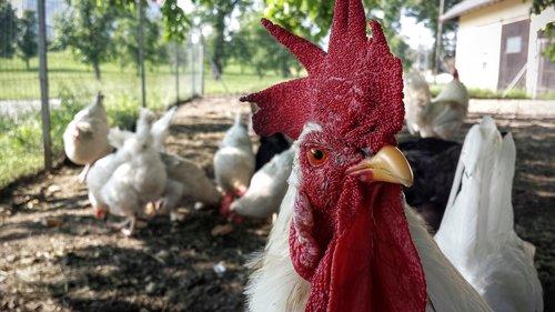 chicken  hahn  farm