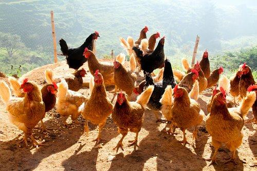 chicken  redneck  cock
