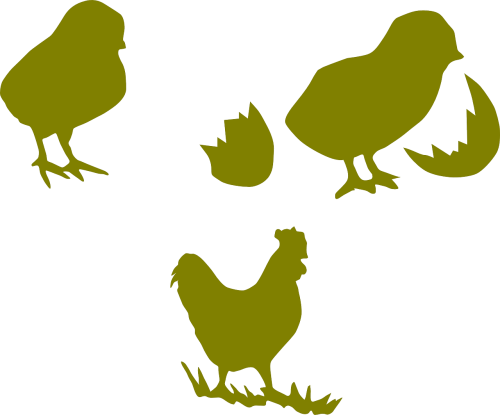 chicken cock poultry
