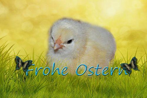 chicken easter fluffy