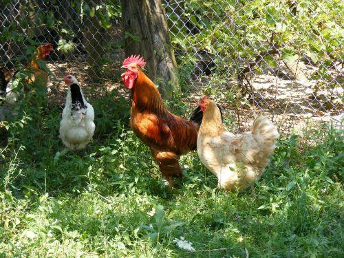 chicken chickens farm