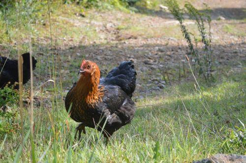 chicken walk chicken farm