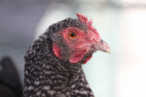 Chicken Face 2