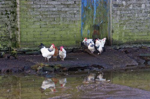 Chicken Pond