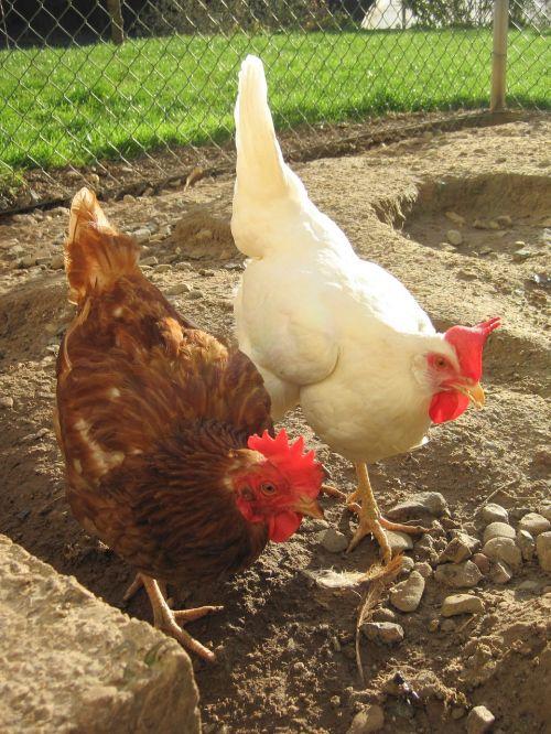 chickens sun chicken run