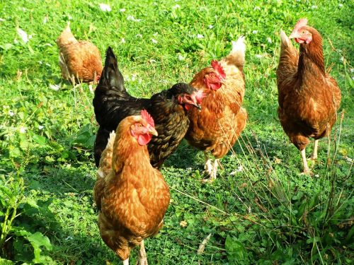 chickens poultry agriculture
