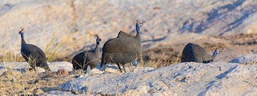chickens  africa  guinea fowl