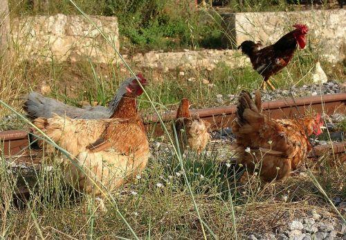 chickens free running barn