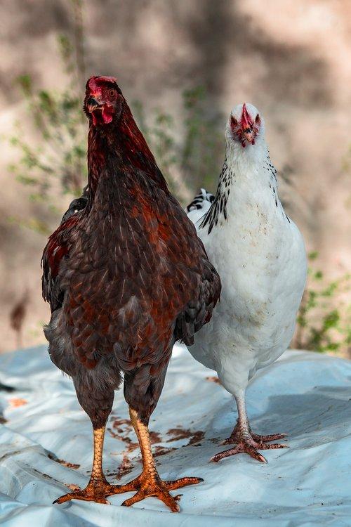 chickens  village  the hen