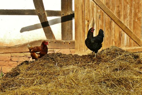 chickens farm dung