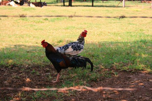 Chickens, Irene Dairy Farm