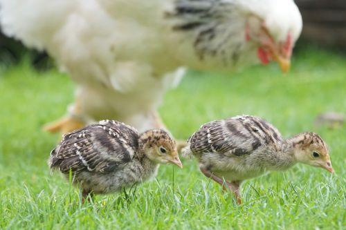 chicks wild turkey nurse