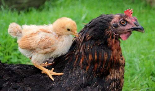 chicks yellow mother hen