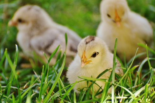 chicks chicken small