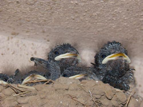 chicks birds nest