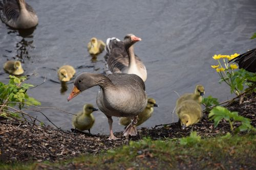 chicks geese bird