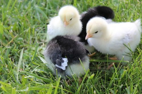 chicks babies black