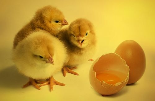 chicks bird chickens chicks