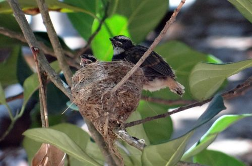 chicks fledglings white-throated fantail